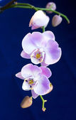 Beautiful bright lilac orchids — Stock Photo