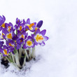 Early spring purple Crocus in snow — Stok Fotoğraf #15539935