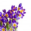 Stock Photo: Spring flowers Crocus isolated
