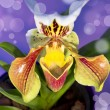 Royalty-Free Stock Photo: Lady\'s slipper orchid Isolated