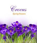 Principios de la primavera flor crocus para pascua — Foto de Stock