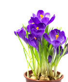 Early spring flower Crocus for Easter — Stock Photo