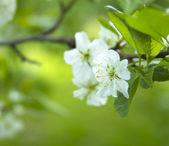 Cherry tree blossom close-up — Stock Photo