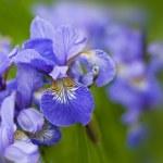 Violet flower - iris — Stock Photo #24139239