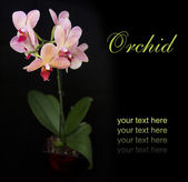 Brick red orchid in the pot — Stock Photo