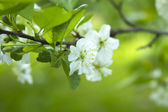 Cherry tree blossom close-up — Stock Photo