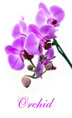 Pink orchid isolated — Foto de Stock