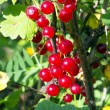 Red currants  berries — Stock Photo