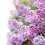 Lilac purple flowers — Stock Photo #47553655