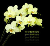 Group of yellow orchids — Stock Photo