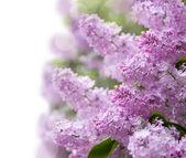 Lila paarse bloemen — Stockfoto