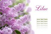 Lilac purple flowers — Stock Photo