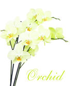 Yellow orchids isolated — Stock Photo