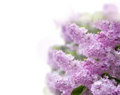 Lilac purple flowers — Stock Photo