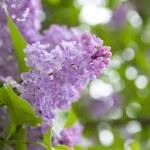 Lilac purple flowers — Stock Photo #49379725