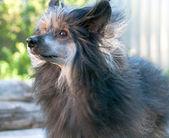 китайская хохлатая собака — Стоковое фото