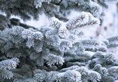 Young furtree at winter — Stock Photo