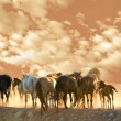 Stock Photo: Horses run at summer evening