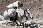 Brown tibetan yak — Stock Photo
