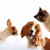 üç ev evcil hayvan — Stok fotoğraf