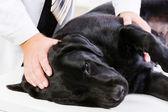 在兽医诊所的狗 — 图库照片