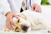 Perro en clínica veterinaria — Foto de Stock