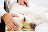 Dog at vet clinic — Stock Photo