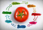 Red tomato with sketch — Stockfoto