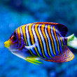 Angel fish. - Stock Photo