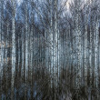 Stock Photo: Spring flooding in birch forest