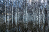 Spring flooding in the birch forest — Stock Photo