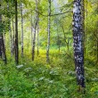 Sunny spring landscape with birch forest. — Stock Photo #34847379
