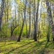 Sunny spring landscape with birch forest. — Stock Photo
