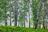 Fog in a birch grove — Stock Photo