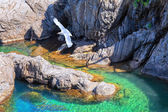 Gaviota y acantilados costeros cerca de manarola. cinque terre, italia. — Foto de Stock