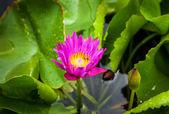 яркий лиловый лотос — Стоковое фото