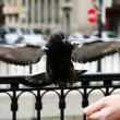 Stock Photo: Flying pigeon
