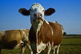 Cows in field — Foto de Stock
