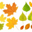 Stock Photo: Leafs of birch, maple and barberry