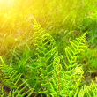 Stock Photo: Fresh green leaves of fern