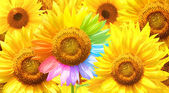 Sunflower painted in different colors — Stock Photo
