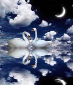 2 つの白鳥 — ストック写真