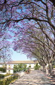 Avenue of flowering acacias — ストック写真