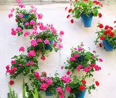 Flowerpots with geranium — Stock Photo