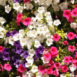 Flowers of petunias — Stock Photo