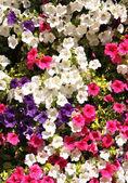 Flowers of petunias — Stock Photo