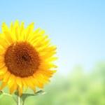 Sunflower — Stock Photo #31586771