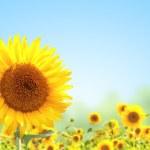 Sunflower — Stock Photo #32123851
