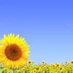 Sunflower — Stock Photo #33743529