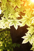 Autumn leaves of maple — Stock Photo